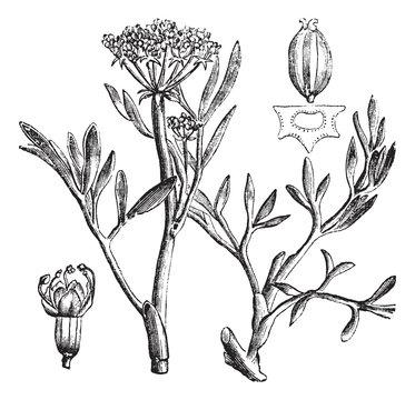 Samphire or rock samphire or Crithmum maritimum, vintage engravi