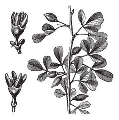 Myrrh vintage engraving