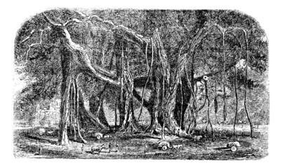 Banyan or Ficus benghalensis, vintage engraving.