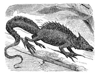 Basilisk or Basiliscus mitratus vintage engraving.