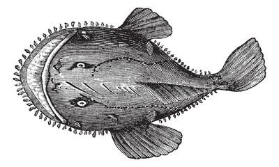 The American anglerfish or Lophius americanus. Vintage engraving
