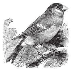 Eurasian Bullfinch or Pyrrhula pyrrhula,,bird, vintage engraving