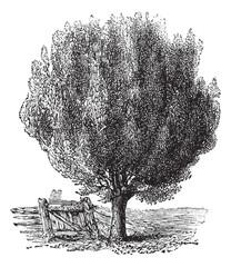 Boxwood or Buxus, tree, vintage engraving.