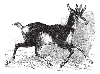 Antilocapra americana or pronghorn vintage engraving.