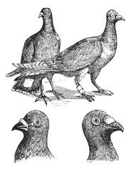 Belgian carriers- Liege or Antwerp pigeon vintage engraving