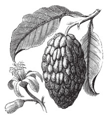 Citrus medica or Citron vintage engraving