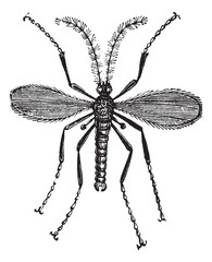 Hessian fly, or Mayetiola destructor vintage engraving