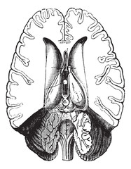 Human brain cut horizontally to show internal parts vintage engr