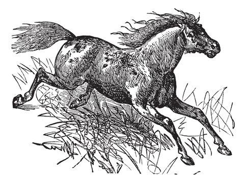 Mustang vintage engraving