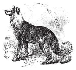 Belgian Shepherd vintage engraving