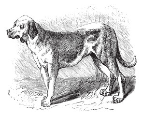 Bloodhound or Saint Hubert Hound or Sleuth Hound or Canis lupus