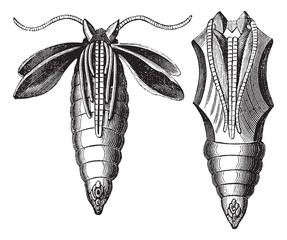 Chrysalide of a Moth vintage engraving