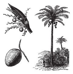 Coconut or Coconut Palm or Cocos nucifera vintage engraving