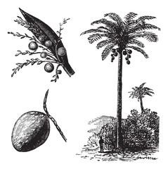 Coconut or Coconut Palm or Cocos nucifera vintage engraving