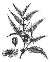 Jute or Corchorus capsularis or Corchorus olitorius vintage engr