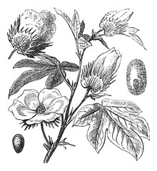 Pima Cotton or South American Cotton or Creole or Sea Island Cot