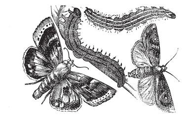 Owlet moth or Noctuidae vintage engraving