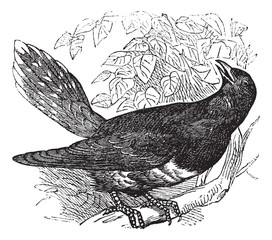 Common Cuckoo or Cuculus canorus vintage engraving