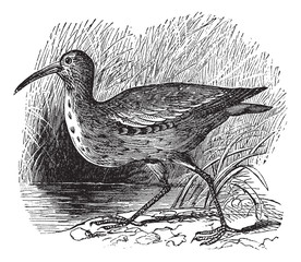 Eskimo Curlew or Northern Curlew or Numenius borealis vintage en