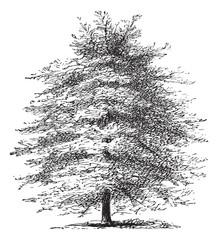 Italian Cypress or Cupressus sempervirens horizontalis, vintage