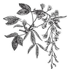 Golden Chain or Golden Rain or Cytisus laburnum or Laburnum anag