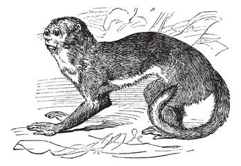 Night monkey or Owl Monkeys or Douroucouli or Aotus sp., vintage