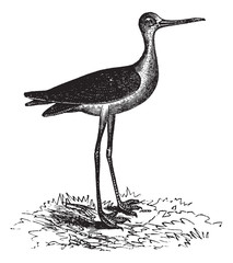 Black-necked Stilt or Himantopus mexicanus, vintage engraving