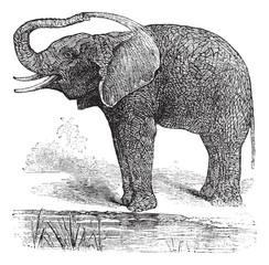 African Bush Elephant or Loxodonta africana, vintage engraving