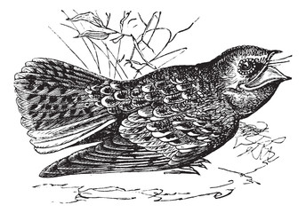 Chuck-will's-widow or Caprimulgus carolinensis, vintage engravin