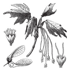 Silver Maple or Creek Maple or River Maple or Silverleaf Maple o