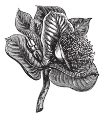 Mottlecah or Eucalyptus macocarpa, vintage engraving