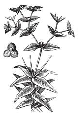 American Ipecac or Euphorbia ipecacuanhae, vintage engraving