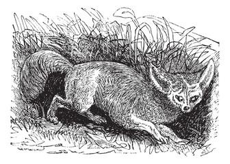 Bat-eared Fox or Otocyon megalotis, vintage engraving