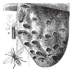 Hornets and Hornet's nest vintage engraving