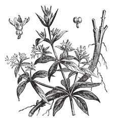 Rubia tinctorum or Common madder vintage engraving