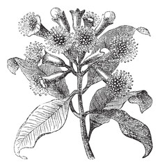 Cloves or Syzygium aromaticum vintage engraving