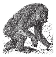 Gorilla vintage engraving