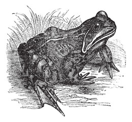 European common frog or Rana temporaria vintage engraving
