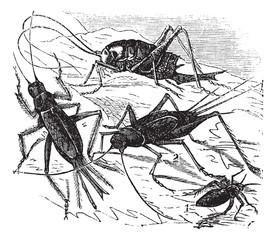 1.Wood cricket (Acheta vittata) 2.Field cricket (Acheta campestr