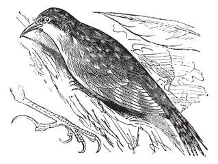 Eurasian treecreeper or Common treecreeper (Certhia familiaris)