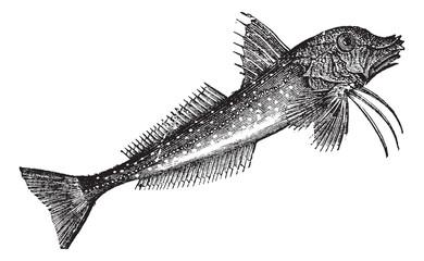 Grey Gurnard (Trigla gurnardus) or Sea robinvintage engraving
