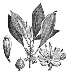 Gutta-percha (Isonandra gutta) or Palaquium gutta vintage engrav