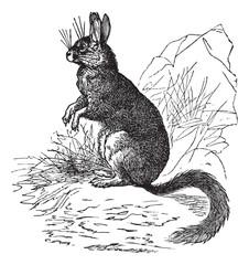 Viscachas or vizcachas vintage engraving