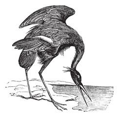 Great Blue Heron (Ardea herodias) vintage engraving