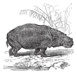 Hippopotamus or Hippopotamus amphibius vintage engraving