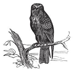 Eurasian Hobby or Falco subbuteo vintage engraving