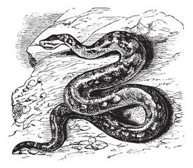 Natal rock python or Python sebae natalensis vintage engraving
