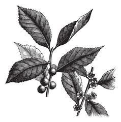 American Winterberry or Ilex verticillata vintage engraving