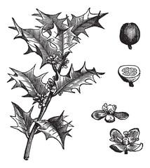 Holly or Ilex aquifolium vintage engraving
