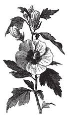 Garden hibiscus (Hibiscus syriacus) or Shrub Althea vintage engr